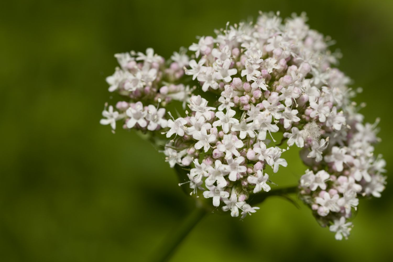 Pflanze: Valeriana Officinalis